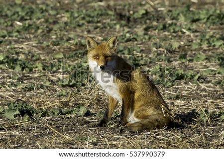 red fox in natural habitat / Vulpes vulpes