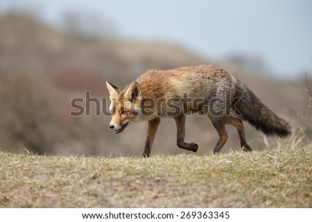 Red fox in the dutch dunes with a soft focus - stock photo