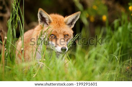 Red Fox in the evening sun - stock photo