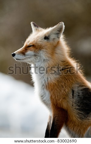 Red fox in winter - stock photo