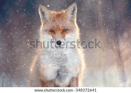 red fox in winter forest Pretty - stock photo