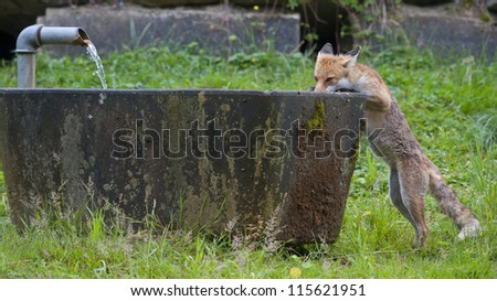 Red Fox is drinking water from fountain - stock photo