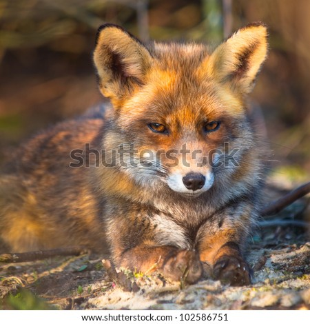 Red fox is relaxing in the sun from under a bush - stock photo