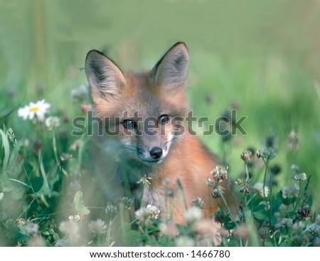red fox kit - stock photo