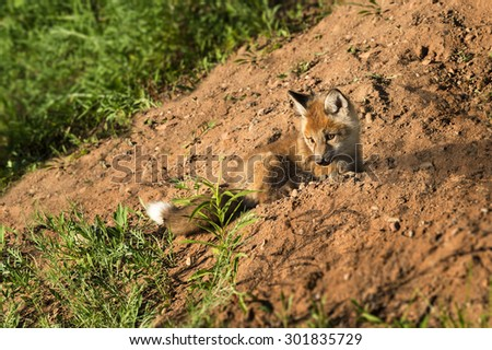 Red Fox Kit (Vulpes vulpes) Lies on Dirt Embankment - captive animal - stock photo