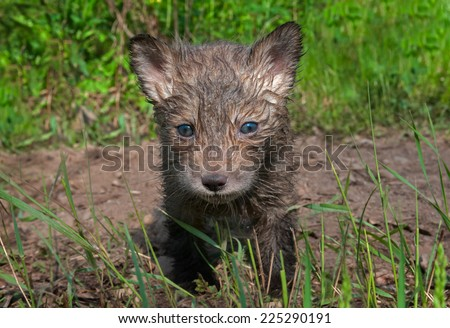Red Fox Kit (Vulpes vulpes) Looks Out - captive animal - stock photo