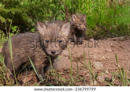 Red Fox Kits (Vulpes vulpes) Stand at Densite - captive animal - stock photo