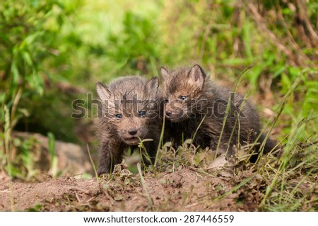 Red Fox Kits (Vulpes vulpes) Stand Outside Den - captive animals - stock photo
