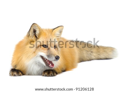 Red fox laying looking aside isolated on white