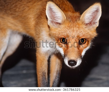 Red fox looking at the camera - stock photo