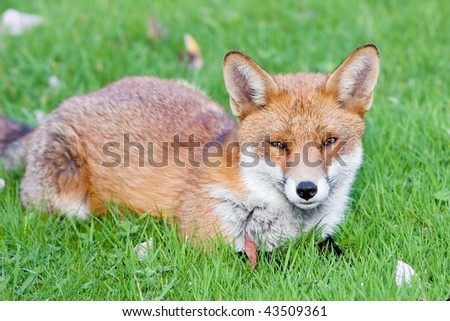 Red Fox lying on grass with autumn leaves - stock photo