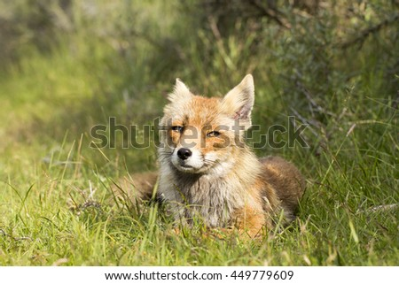 Red Fox Lying on the Grass With Her Ears Back