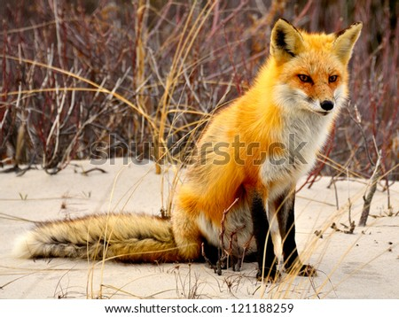 Red fox of Island State Beach Park, NJ USA.