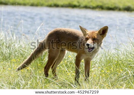 Red Fox on the Grass by the Water