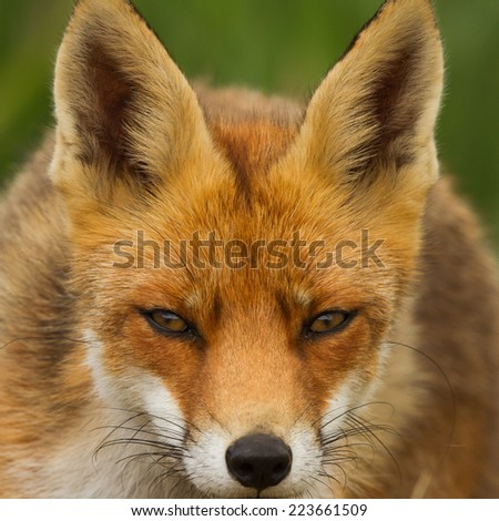 Red Fox portrait close-up