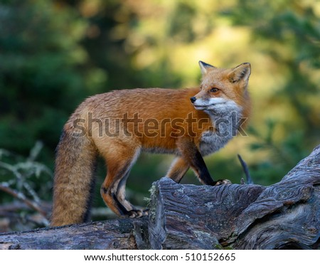 Red Fox Portrait in Fall
