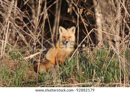 Red Fox pup on Hecla Island in Manitoba - stock photo
