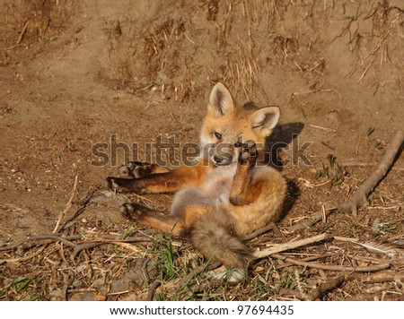 Red Fox pup outside its den - stock photo
