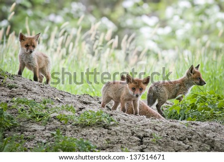 Red fox pups - stock photo