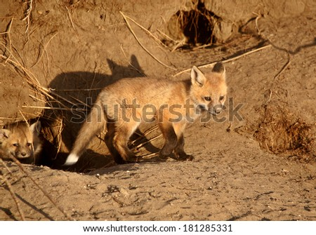 Red Fox pups at den - stock photo