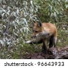 Red Fox Ready to Pounce - stock photo