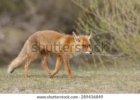 Red fox right side view - stock photo