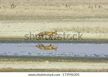 red fox running along the shore of a lake / Vulpes vulpes - stock photo