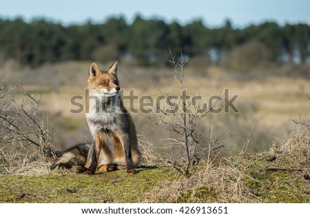 Red fox sits on the grass  - stock photo
