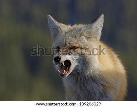 Red Fox snarling, with mouth open and teeth / fangs visible, close-up, detailed portrait against a green background;  Mount Rainier National Park - stock photo