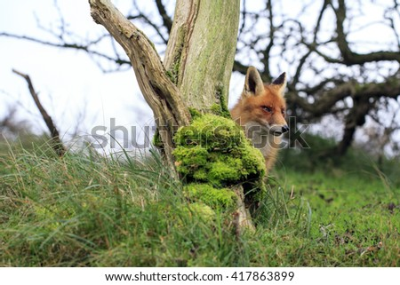 Red Fox Standing Behind a Tree