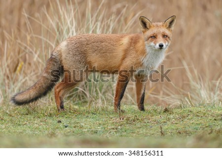 Red fox standing in nature in drizzle.