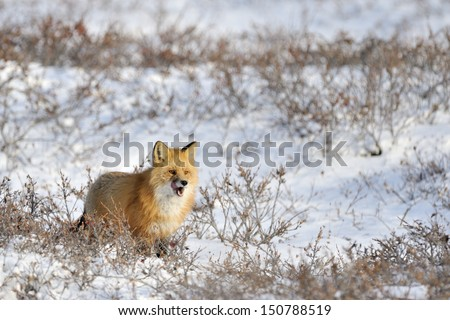 Red fox standing in snow at tundra. - stock photo