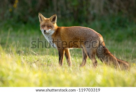 Red Fox standing in the dunes - stock photo