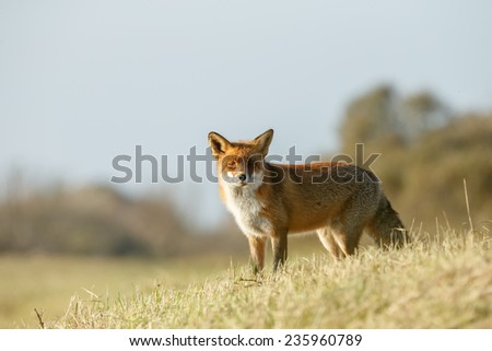 Red fox standing in the dunes of Holland - stock photo