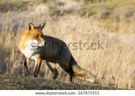 Red Fox Standing on the Grass Looking to the Right - stock photo