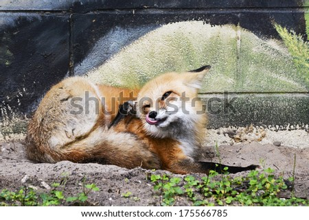 red fox sticks out tongue