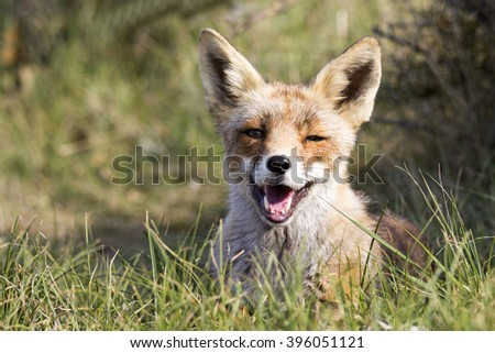 Red Fox Vixen Lying on the Grass on a Warm Sunny Day in the Summer