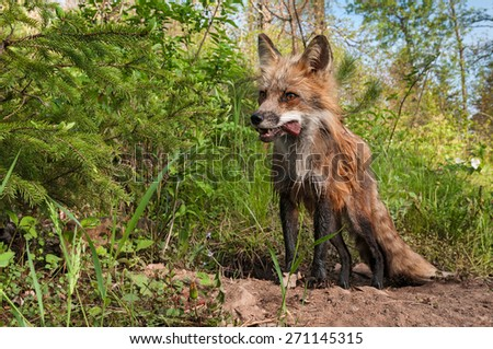 Red Fox Vixen (Vulpes vulpes) with Meat Snack in Her Mouth - captive animal - stock photo