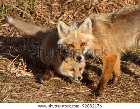 Red Fox vixen with pup on Hecla Island in Manitoba - stock photo
