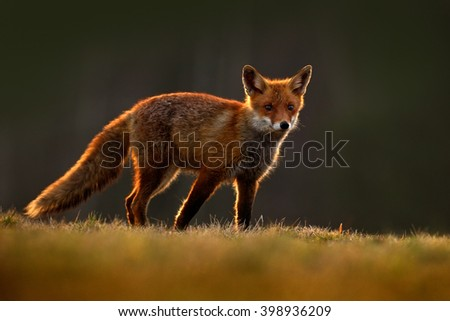Red Fox, Vulpes vulpes, beautiful animal at green forest with flowers, in the nature habitat, evening sun with nice light, sunset, Germany - stock photo