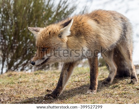 Red fox (Vulpes vulpes) close-up tracking