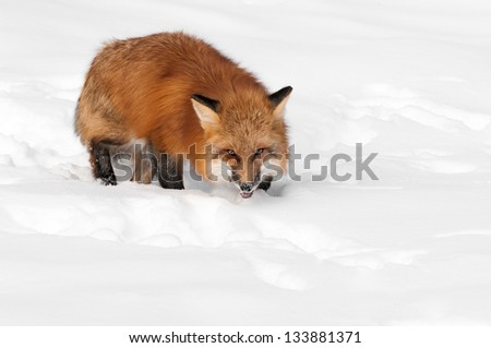 Red Fox (Vulpes vulpes) Glares at Viewer - captive animal