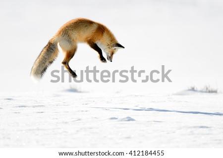 Red Fox (Vulpes vulpes) - Hunting I - stock photo