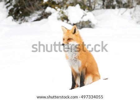 Red fox (Vulpes vulpes) in the snow in winter in Algonquin Park