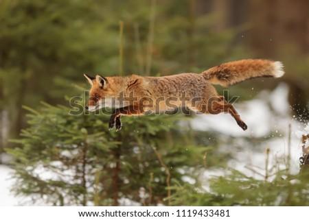 stock-photo-red-fox-vulpes-vulpes-is-jum