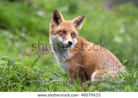Red Fox (Vulpes vulpes) looking back during the chase. - stock photo
