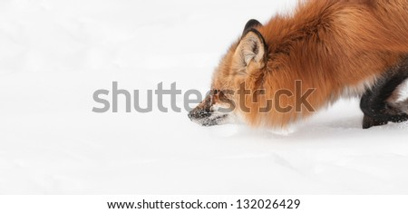 Red Fox (Vulpes vulpes) Moves Through the Snow - closeup with copy space to left - captive animal