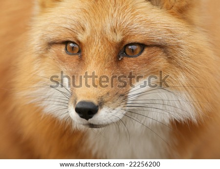 Red Fox (Vulpes vulpes) portrait - stock photo