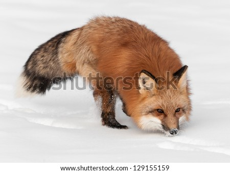 Red Fox (Vulpes vulpes) Runs Through Snow - captive animal