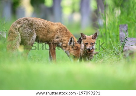 Red Fox (Vulpes vulpes) Vixen with young cub amongst the grass.